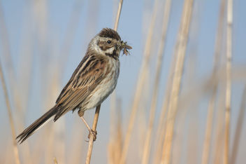 Reed bunting, Emberiza schoeniclus, Potrzos - image gratuit #443769