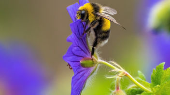 Busy Bee. - image gratuit #445129