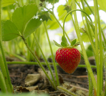 Garden strawberry - image #446509 gratis