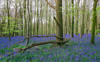 Tiny, quaint, humbling bluebells - Kostenloses image #446589
