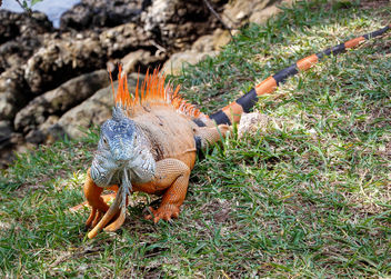Iguana walking in the grass - image #446749 gratis
