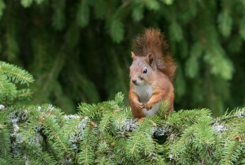 Squirrel - image gratuit #447019