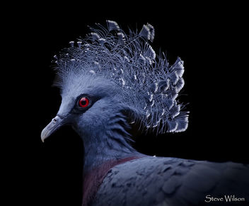 Victoria Crowned Pigeon - Kostenloses image #447049