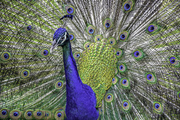 Peacock & Plumage Portrait - бесплатный image #447309