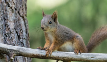 Squirrel - image gratuit #447359