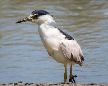 Black-crowned Night-heron - image #447399 gratis