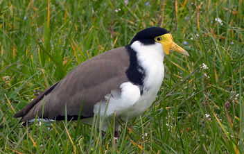 Spur winged plover. (Vanellus miles), - Free image #448119