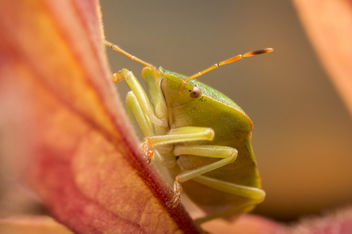 Green shield bug, Palomena prasina - image #448279 gratis