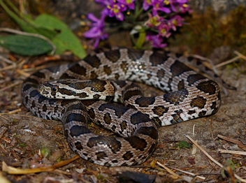 Great Plains Rat Snake (Pantherophis emoryi) - бесплатный image #448879