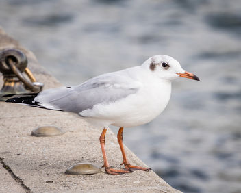 Black-headed Gull (non-breeding adult) - image #449049 gratis