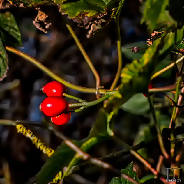 Winter Berries - Free image #450299