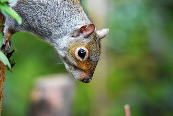 Grey Squirrel - image #450389 gratis