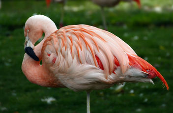 Chilean flamingo (Phoenicopterus chilensis) - бесплатный image #450889