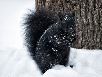 Snowy Squirrel. - image #450899 gratis