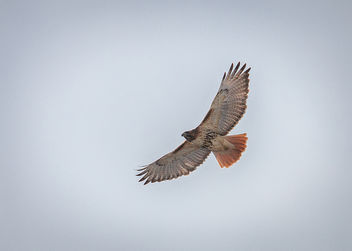 A New Year's Hawk. - image gratuit #451059