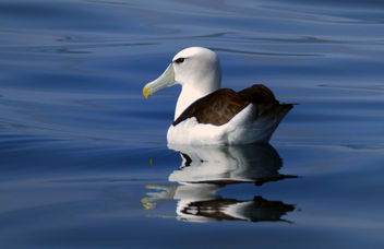 The white-capped albatross (Thalassarche cauta steadi) - image gratuit #451589