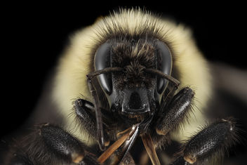 Bombus vagans, Q, Face, NY, Franklin County_2014-07-01-17.13 - бесплатный image #451629