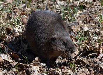 The Muskrat Rescue - Free image #452149