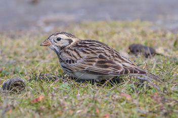 Lapland Longspur (nonbreeding plumage) - Free image #452209