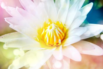 white lotus close up - image gratuit #452559