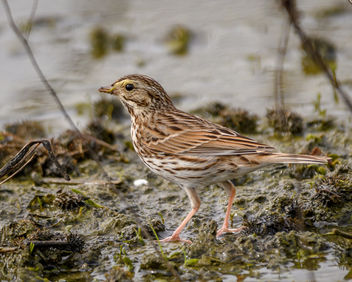 Savannah Sparrow - Free image #452659