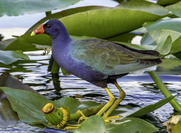 Purple Gallinule - image gratuit #452699