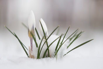 Little surprise for crocus this morning - Free image #452869