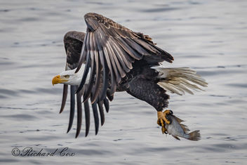 Eagle Fishing B 2018 - Free image #452899