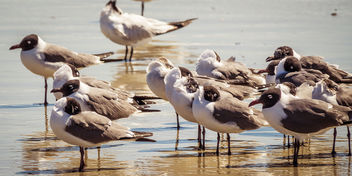Black-Headed Gulls, Amelia Island - image gratuit #453259