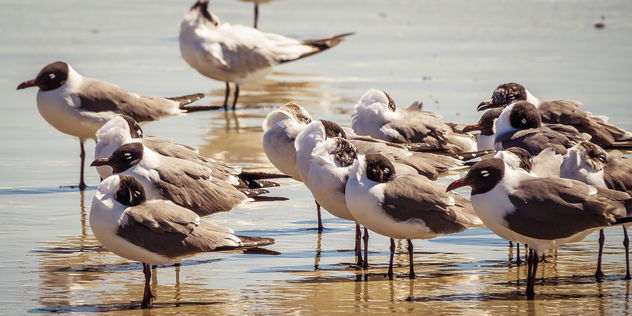 Black-Headed Gulls, Amelia Island - Kostenloses image #453259