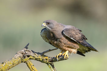 Swainson's Hawk (Dark Morph) just before take-off - Free image #453329