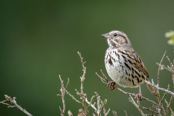 Song Sparrow - image gratuit #453339
