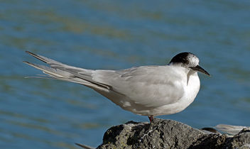 White-fronted tern (Sterna striata) - Free image #453559