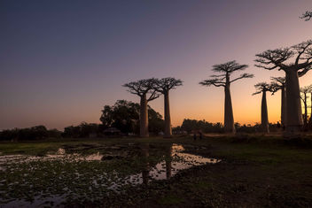 Baobabs at Sunset - image #453849 gratis
