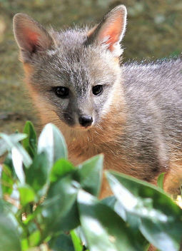 Gray Fox Kit - Free image #454029