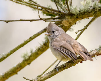 Oak Titmouse (immature) - Free image #454079
