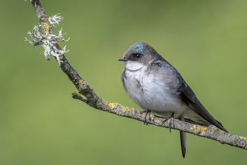 Tree Swallow - image gratuit #454159