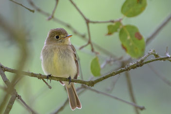 Pacific-slope Flycatcher - image gratuit #454189