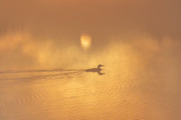 Sunrise With A Loon - Free image #454379