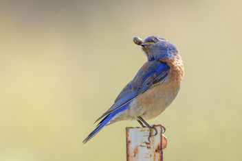 Western Bluebird enjoying a pill bug - image #454389 gratis