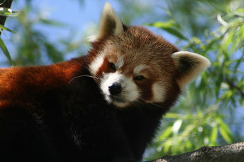 Gorgeous Red Panda. #RedPanda #red #panda #animal #nature #beautiful - Free image #454409