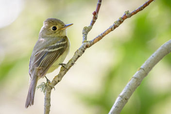 Pacific-slope Flycatcher - image gratuit #454459