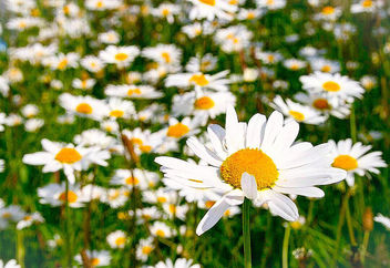 Dog Daisies... #flower #macro #nature #flora #daisy #dogdaisy #white #yellow - Free image #454559