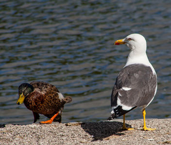 Where do you think you're going ? #seagull #duck #birds #nature #fauna #gull - image #454659 gratis