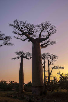 Baobabs on Sunset - Free image #454759
