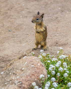 California Ground Squirrel - image #454779 gratis