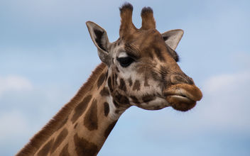 Giraffe feelings - image #454789 gratis