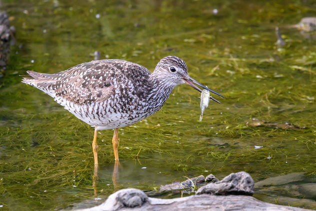 Greater Yellowlegs (breeding plumage) - Free image #455019