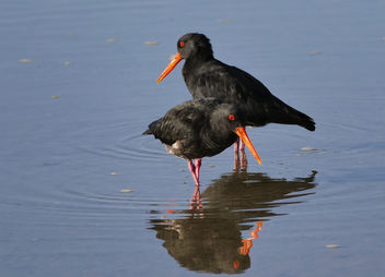 The variable oystercatcher (Haematopus unicolor) - бесплатный image #455459
