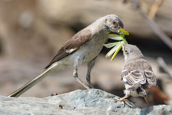 Northern Mockingbird family with Praying Mantis meal - Free image #455819